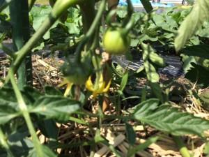 5.22 トマト